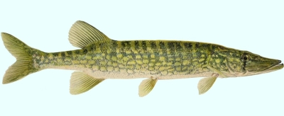 Best bait for fishing pike best bait for fishing for Best bait to catch fish